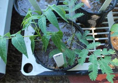 Two exotic invasive trees growing in competition experiment.